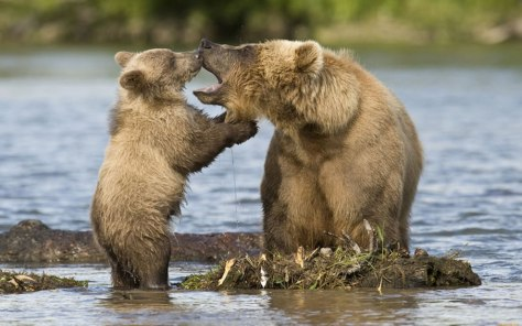 acwhc-angelcraft-crown-world-heritage-and-conservation-category-baby-bears-looks-inside-mama-bears-mouth-conservation-photo-03