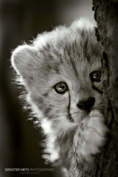 acwhc-angelcraft-crown-world-heritage-and-conservation-category-precious-animal-life-a-hinayana-baby-cheetah-short-eared-grey